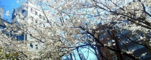 平成26年満開の桜
